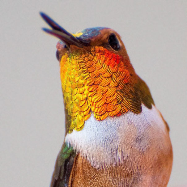 hummingbird-photography-tracy-johnson-california-15.jpg