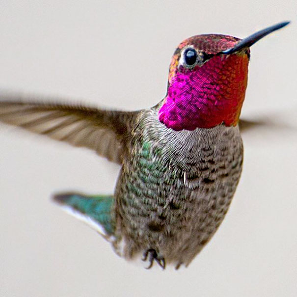 hummingbird-photography-tracy-johnson-california-19.jpg