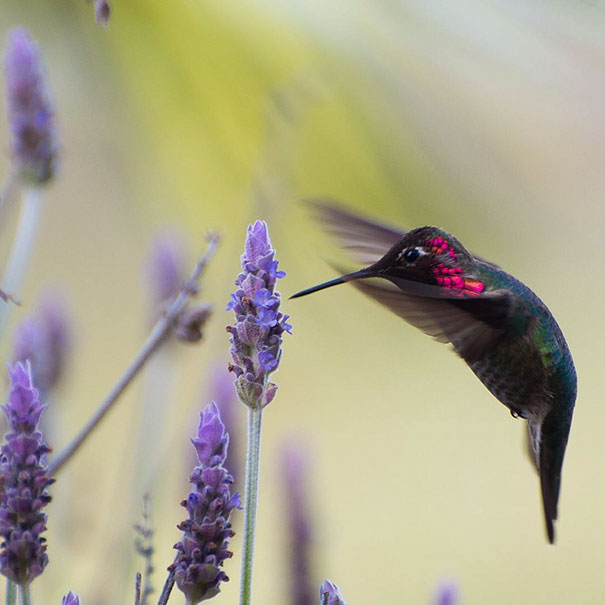 hummingbird-photography-tracy-johnson-california-2.jpg