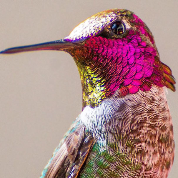hummingbird-photography-tracy-johnson-california-22.jpg