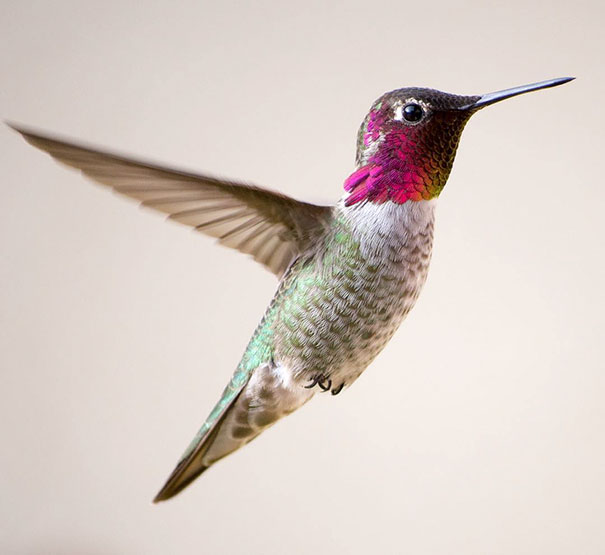 hummingbird-photography-tracy-johnson-california-3.jpg