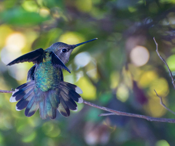 hummingbird-photography-tracy-johnson-california-32.jpg