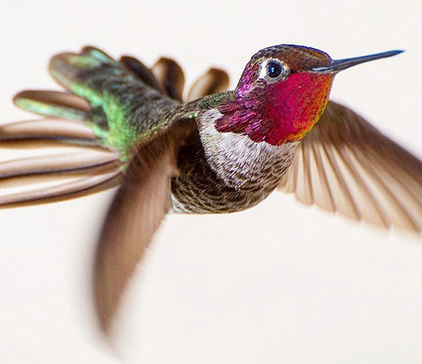 hummingbird-photography-tracy-johnson-california-36.jpg