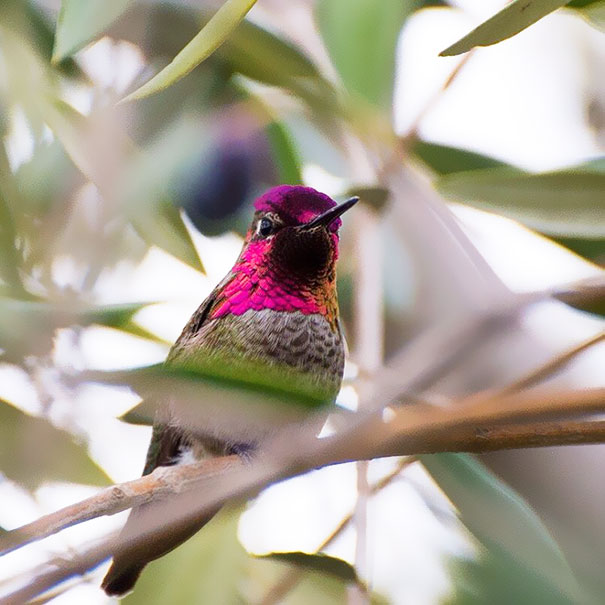 hummingbird-photography-tracy-johnson-california-37.jpg