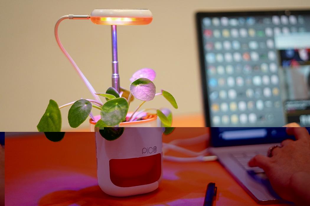 pico_plant4.jpg