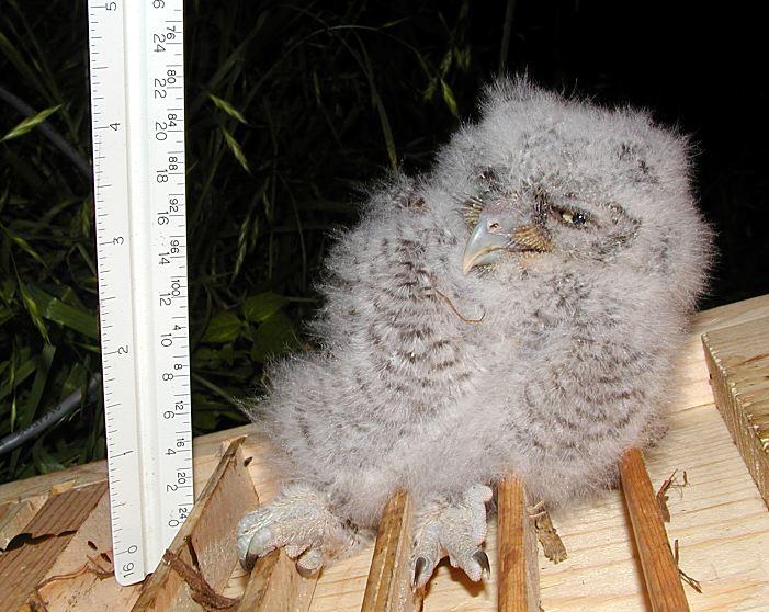 20010414-big-owlet1-02-md[1].jpg