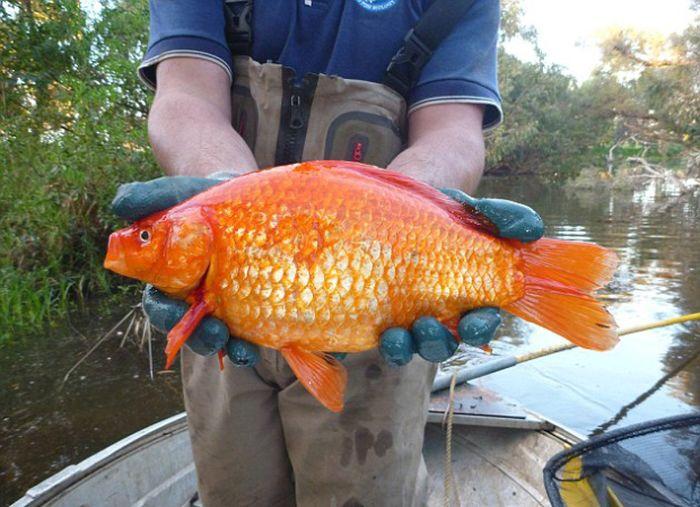 goldfish_02.jpg